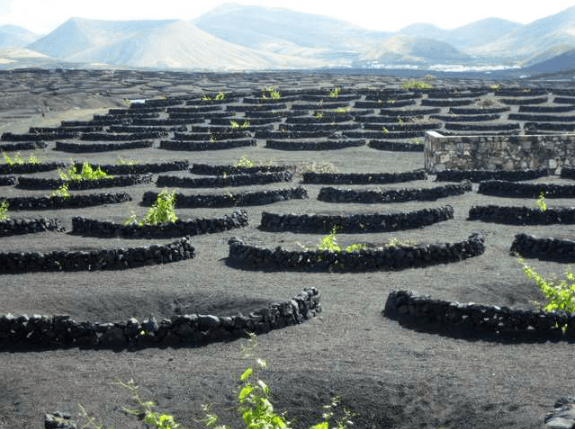 Grapes growing through a layer of volcanic ash. Source: REDSTARSURF